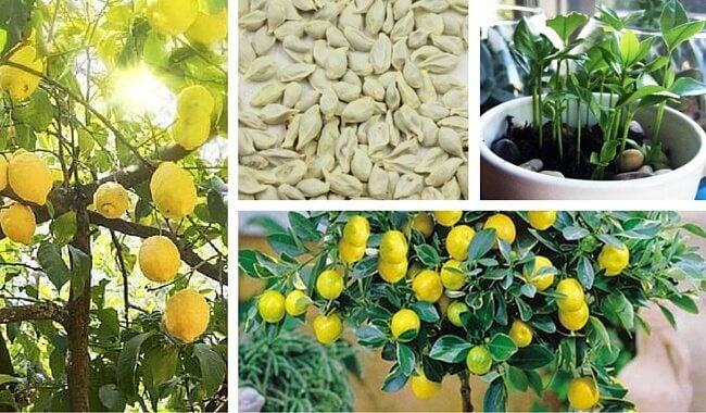 如何在家種檸檬