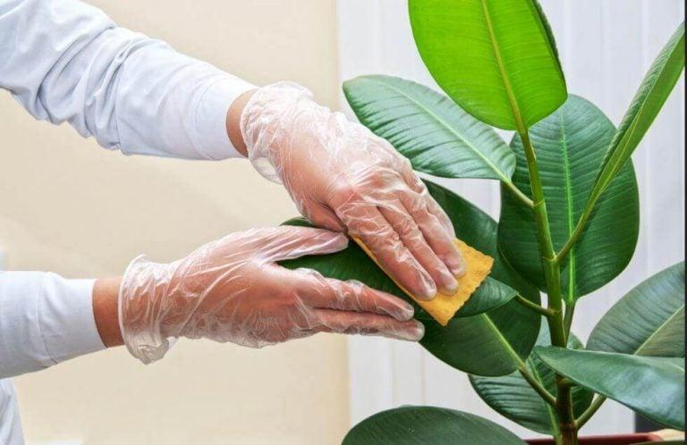 如何清潔室內植物的葉子