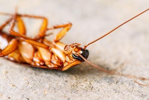 死掉的蟑螂