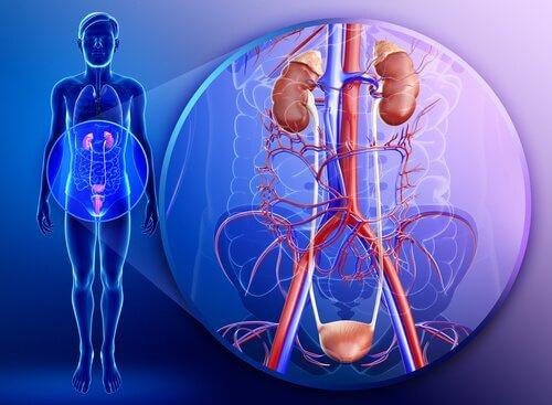 泌尿道系統