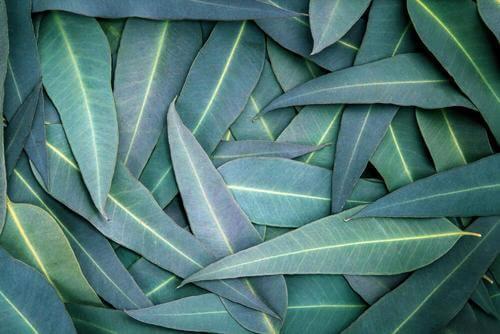 5種緩解呼吸道問題的桉樹療法