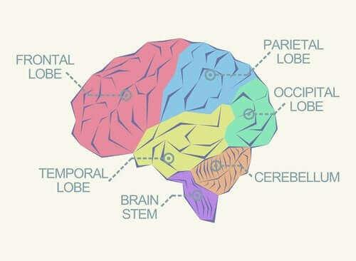 大腦中有哪些不同的腦葉?