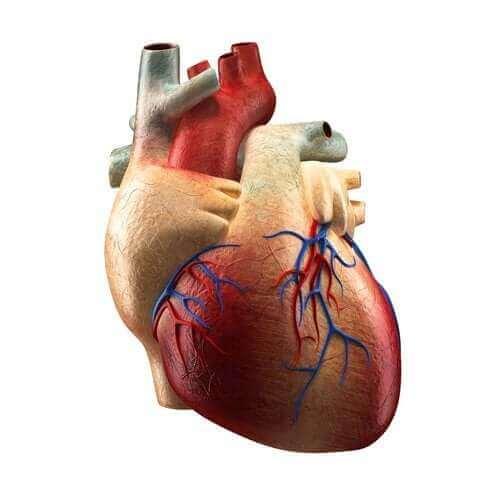 心臟的各部位及其功能